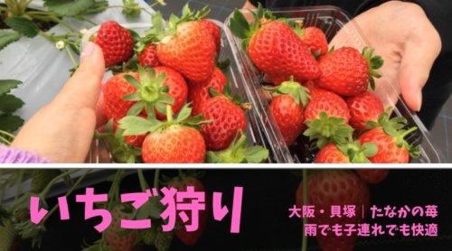 2019年は「たなかの苺」でいちご狩り!|大阪・貝塚【雨でも快適】【子連れOK】