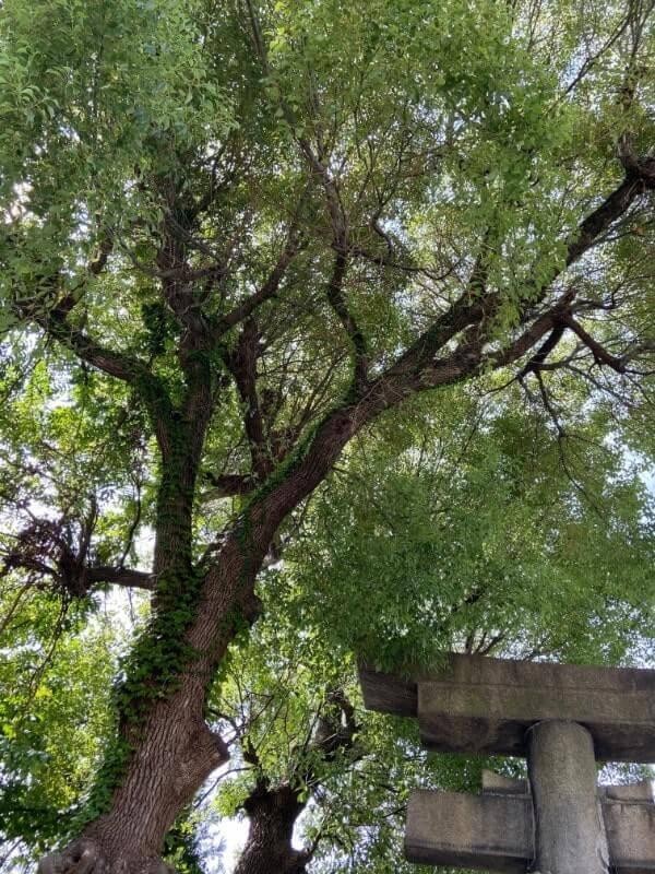 神社の木|iPhone11で撮影(通常モード)