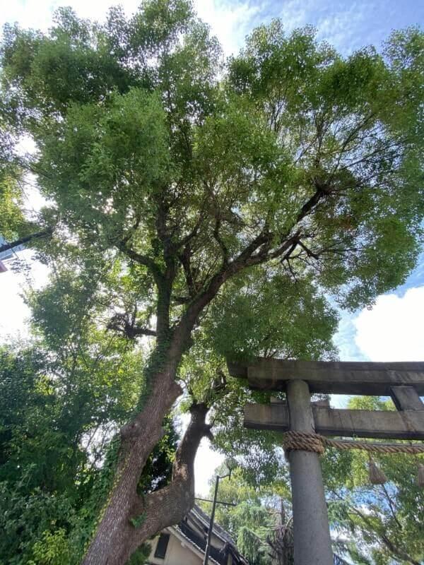 神社の木|iPhone11で撮影(超広角モード)