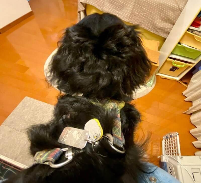 子犬の記念日|ハーネスに装着